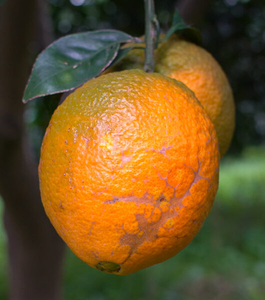 10 Dinge, die du mit echten Orangen machen kannst - The Vegetarian Diaries